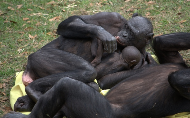 Bonobo kissing baby